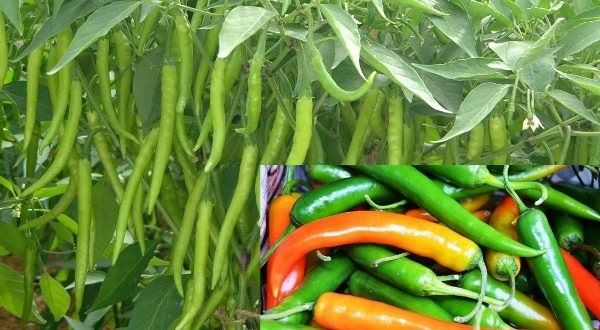Colored peppers growing in a field